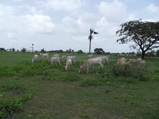 Vacas Magras