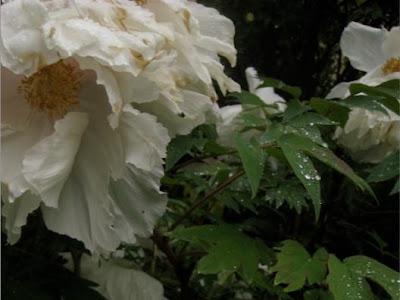 Chronique du jardin de la patrie qui pourrait convenir - Deplacer un rosier ...