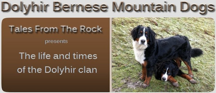 Dolyhir-BerneseMountainDogs...