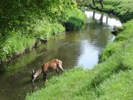 deer in the Beverley Brook in Richmond Park
