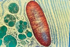 Mitocondria vista al microscopio electrónico: