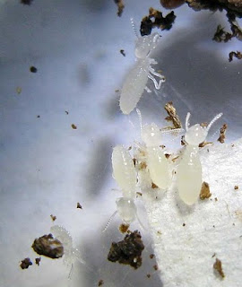 Nymphs or larvae of the Microcerotermes biroi termites