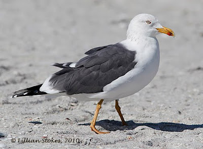 Lesser Black-backed Gull, adult.