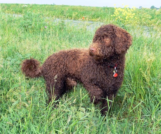 Jax the spanish water dog eight months old 18kg trials and