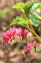 April: Bleeding Heart