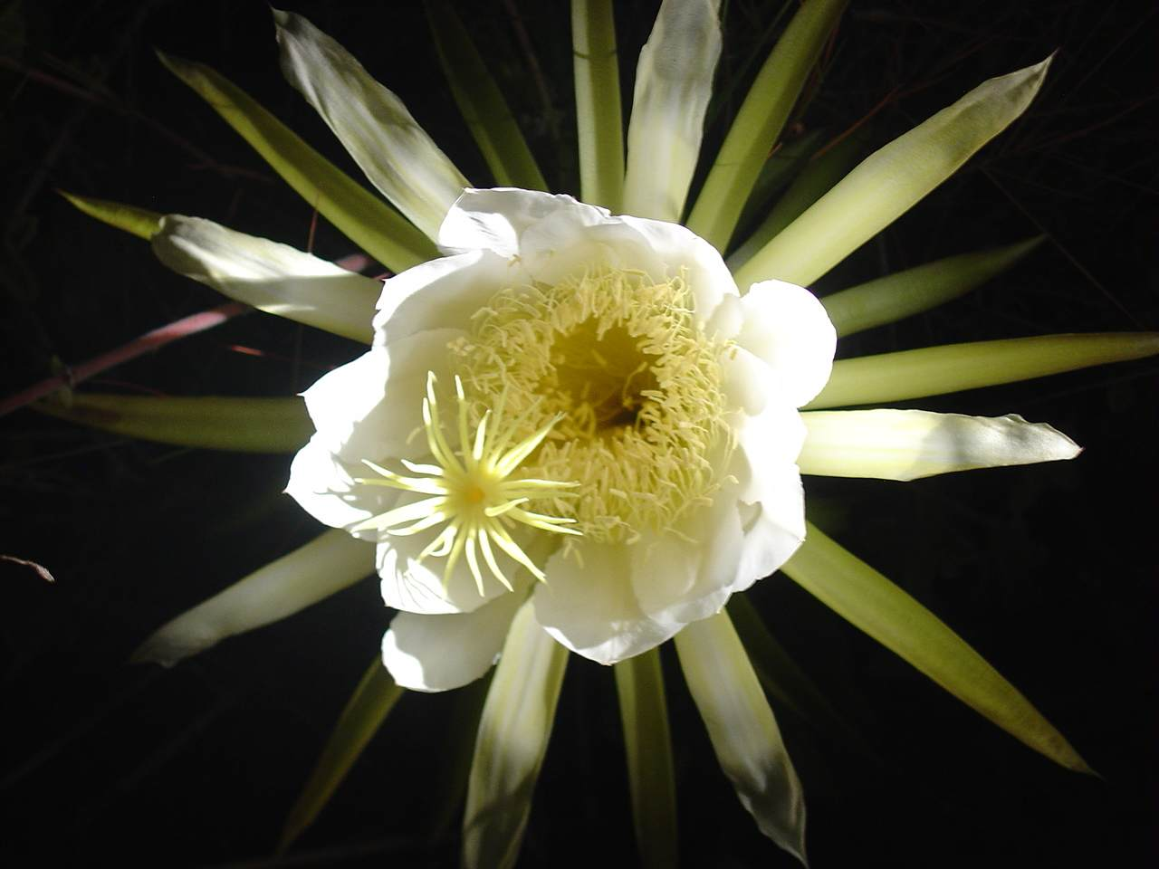 Working title night blooming cereus for A flower that only blooms at night
