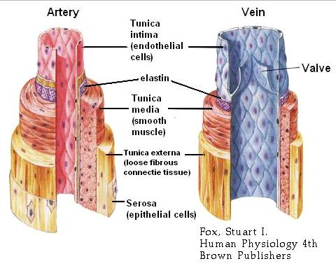 arteries and veins of neck. body,arteries Veins+and+