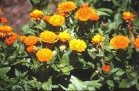 La calédula en plantas medicinales
