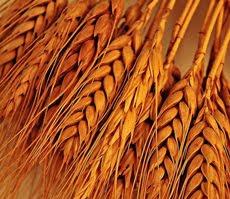 bulir gandum bahan baku tepung gandum