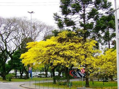 Ip?s amarelos embelezam Curitiba PR