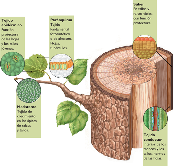 tejido vegetal