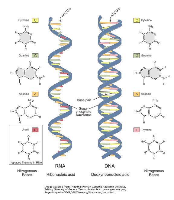 diferencias entre adn y arn a diferencias estructurales