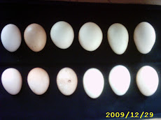 HATCHING EGG