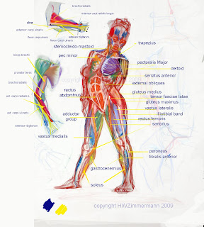 Upper Side Body Diagram http://seneca-animation.blogspot.com/2009_04_01_archive.html