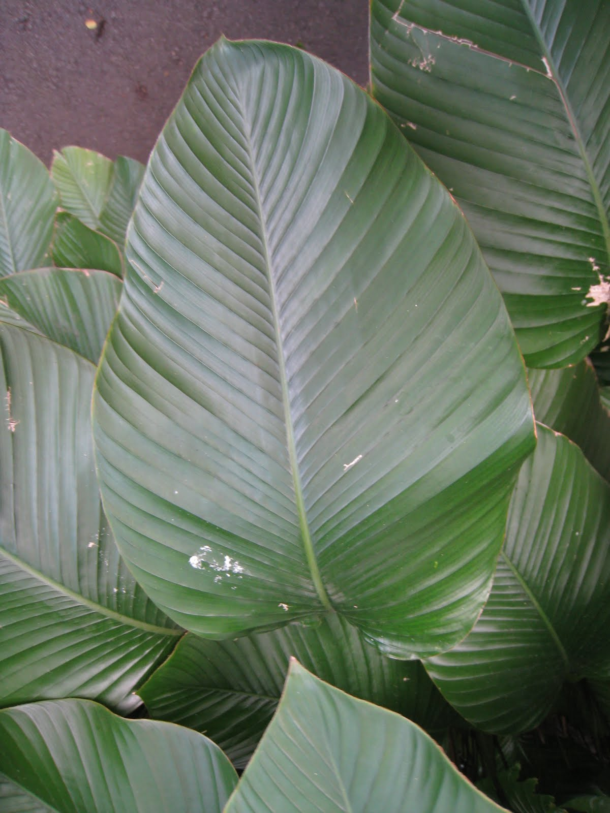 Plants with Parallel Veined Leaves http://domandk.com/palmately-veined-leaves