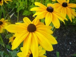 Rudbeckie Hirta Indian Summer