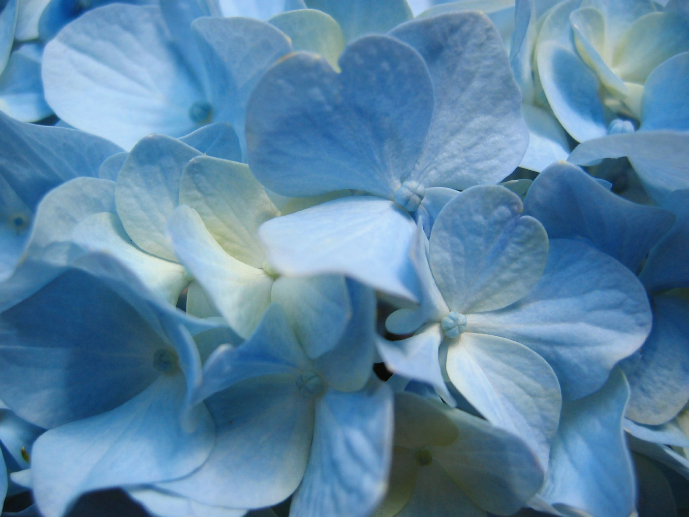 http://1.bp.blogspot.com/_OjGjAZZqaPM/TK4Ctb1bKGI/AAAAAAAAABU/av_PDVWtS6U/s1600/blue_hydrangea_flower,_close-up_photography.jpg