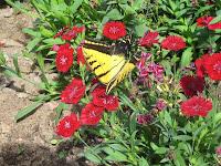 Prescott - butterfly