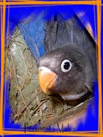 personata malva nel nido