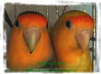 Roseicollis Faccia arancio/ino x Faccia arancio Lutina
