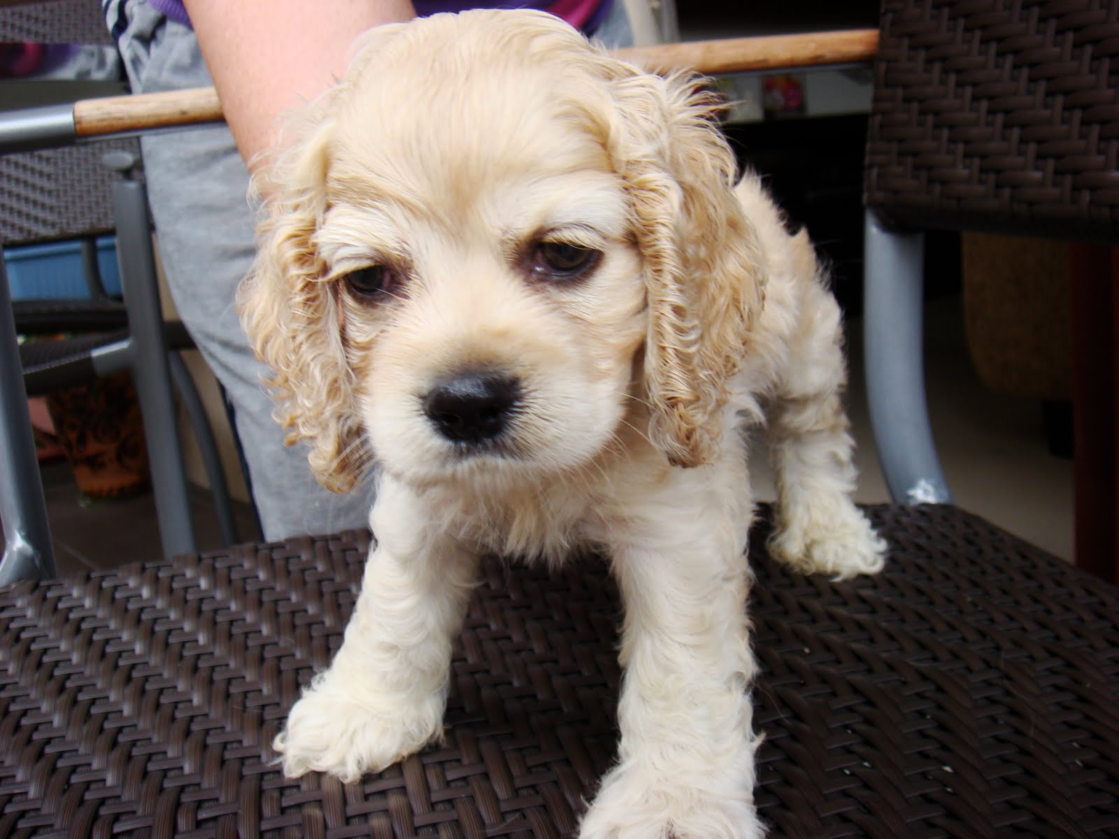 American cocker spaniel puppies - photo#23