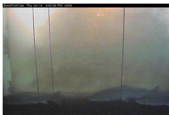 Apocalypse steelheader bonneville web cam for Bonneville dam fish camera
