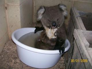 Todo sobre los koalas