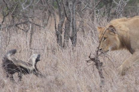 honey badger lion. honey badger vs lion. honey