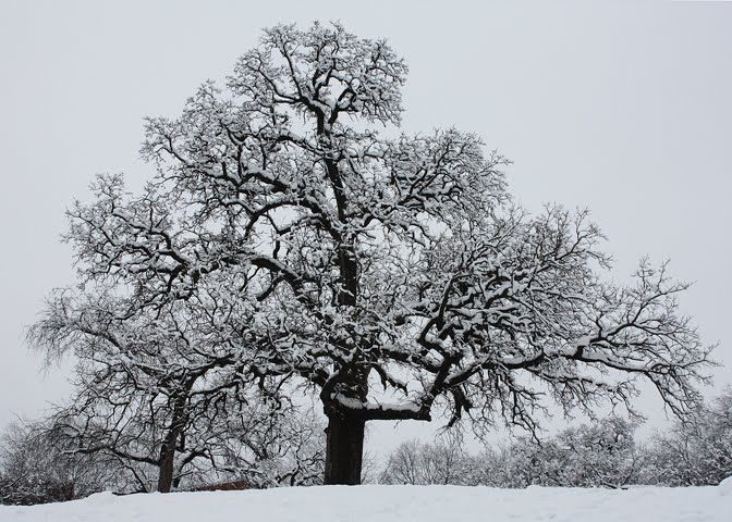 Snow-covered Oak Tree at Grapevine Springs Park