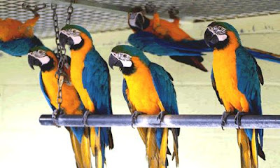 Loros del mismo color