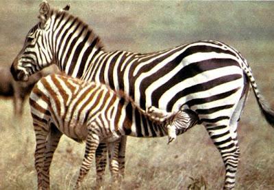 Cebra o zebra con cría tomando leche
