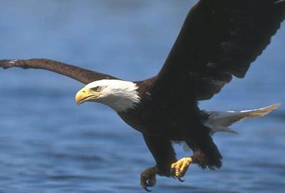 Foto del Aguila volando