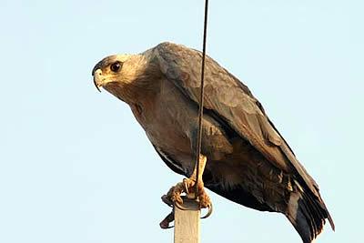 Foto de Aguila descansando