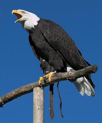 Aguila sobre un poste de madera