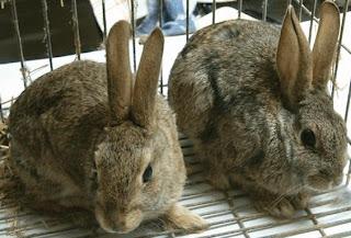 Conejos con orejas bien paradas