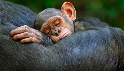Chimpancé durmiendo