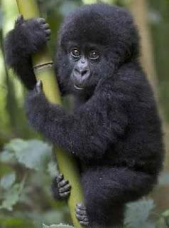 Gorila pequeño trepándose