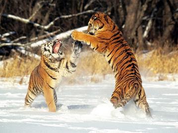 Tigres peleando sobre el agua