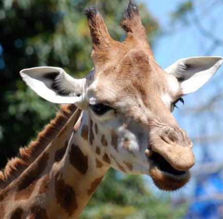 Rostro de la jirafa