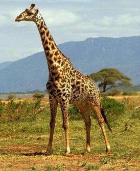 Todo sobre las jirafas toda la informaci n taringa for Taxonomia de la jirafa