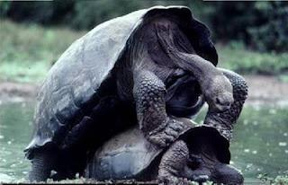 Tortugas macho y hembra apareándose