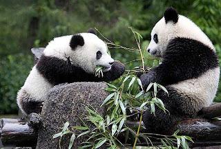 Pequeños osos panda comiendo