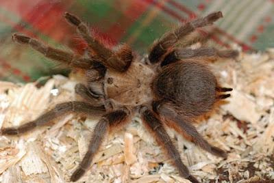 Tarantula Aboreal Dari Brazil