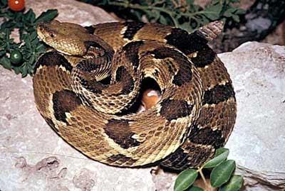 timber rattlesnake Timber