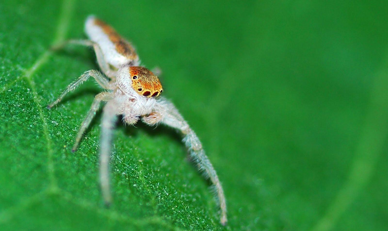 Jumping spider bite