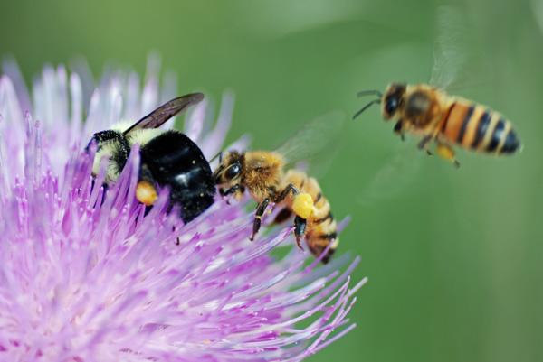 Bumblebee Vs Honey Bee