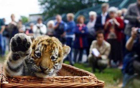 anak harimau