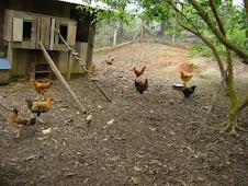Galinha e ovos caipira...