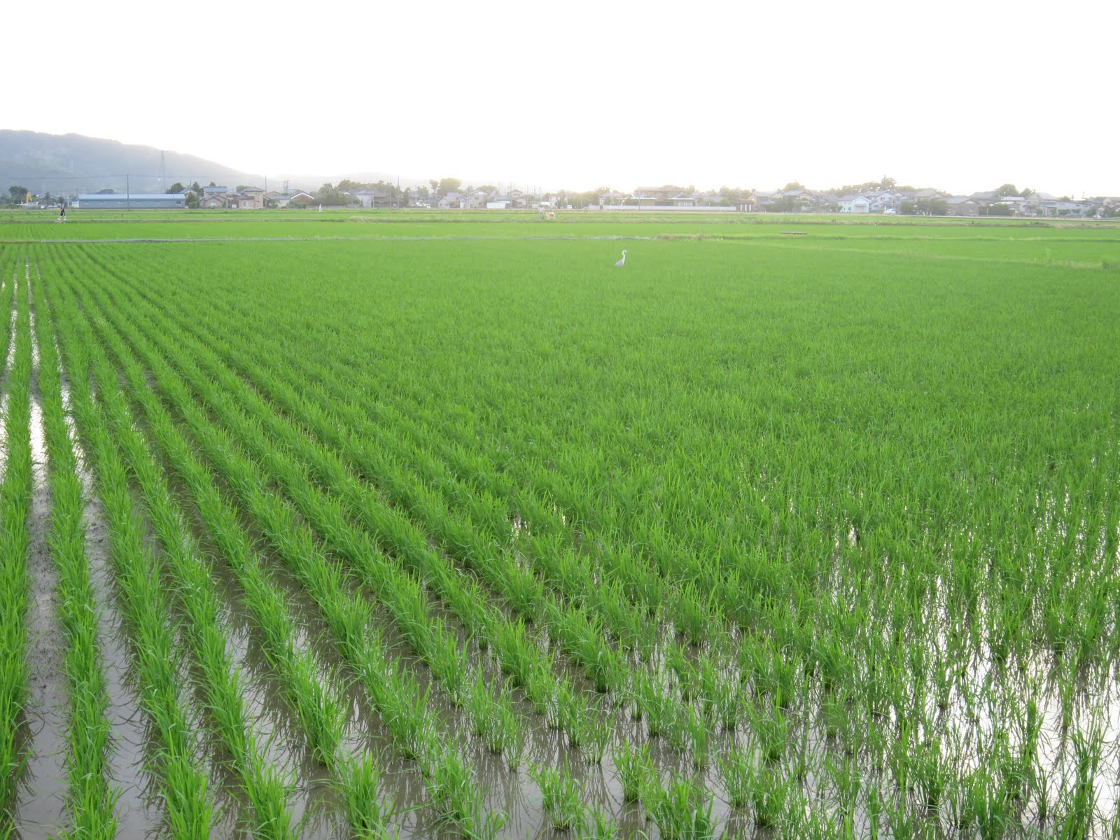 rice fields - photo #5