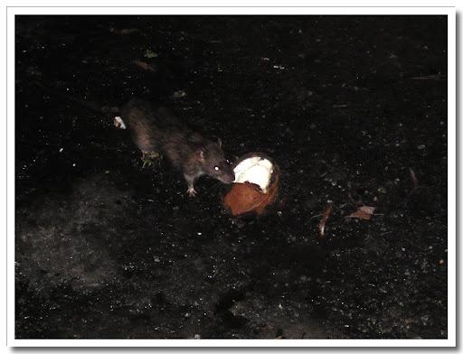 Jätteråtta och kokosnöt